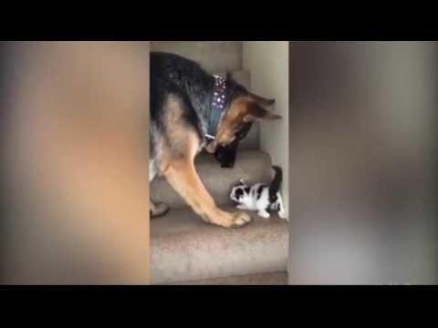 VIDEO: Emainstinkt lõi välja! Vaata, kuidas abivalmis Saksa lambakoer aitab kassipojal trepist üles minna