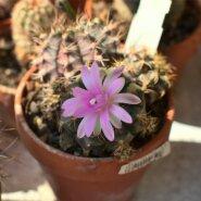 Gymnocalycium friedrichii pole selle kaktuse õige nimi, kuid seda kasutatakse, et viidata tema roosadele õitele. Tegelikult on tema nimi Gymnocalycium stenopleurum. Eestikeelset vastet pole veel kinnitatud. Taim kuulub umbes 70-liigilisse perekonda, mis pärineb Lõuna-Ameerikast. Neid kaktuseid on lihtne kasvatada ja nad õitsevad rikkalikult. Puhkeperioodil ei tohi temperatuur langeda alla 10 plusskraadi.
