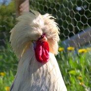 """Hollandi valgepea on Padova (paduaani) kanatõu alamliik, kes on tuntud harja ilmestavate sulgede tõttu. Hollandi valgepea (ingl White-Crested Black Polish) on üks paduaani värvivariante. Efektse välimuse tõttu peetakse neid peamiselt dekoratiivlindudena. Aastas munevad nad umbes 155 väikest valget muna. Kuked kaaluvad 1,8–2,3 kg ja kanad 1,5–2 kg. Hollandi valgepead on teistest kanadest veidi väiksemad, kuid sobivad hästi kokku ka suuremate kanadega. Oluline on arvestada, et nad ehmatavad kergesti, sest pead kattev suletutt piirab vaatevälja. Muidu on nad pigem rahulikud, aeglased ja sõbralikud ning kohanevad uute tingimustega hästi. Algajale kanapidajale neid siiski ei soovitaks, sest Hollandi valgepead ei ole külmema kliimaga eriti hästi kohastunud. Kui """"soeng"""" märjaks saab, võivad nad kergesti külmetuda. Mõned linnukasvatajad kuivatavad külmemal ajal nende pead. Kuna tõug on inimese aretatud, on tibud koorudes nõrgemad kui enamikul teistel kanatõugudel. Muret võib tekitada seegi, kui """"soengusse"""" asuvad elama harjalestad. Silmapõletikud tekivad sellel tõul samuti kergesti."""