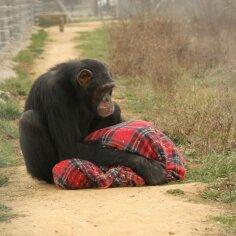 Ahv ei ole mänguasi! Lemmikloomadena peetavad šimpansid kannatavad inimestele omaste psüühikahäirete käes