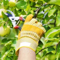 Miks on viljapuid targem lõigata suvel?