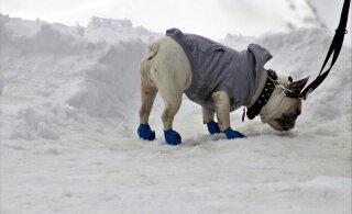 Sülekoerte treener annab nõu, kuidas oma väike koer talvel soojas hoida