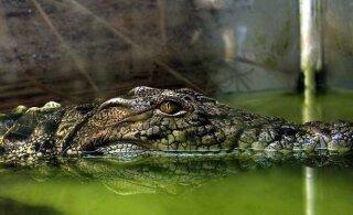 HIRMUTAV VIDEO | Vaata, mida elab üle krokodill enne, kui temast saab käekott