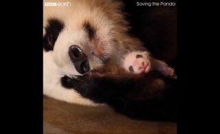 LÕBUS VIDEO | Pandaema ei taipa, et tal on kaksikud