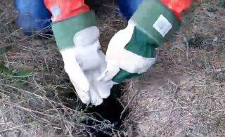 VIDEO   Täna hommikul päästis lapselik uudishimu väga sügavasse auku kukkunud siili