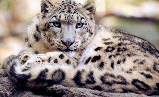 Maasikakarva leopard on päriselt olemas: üliharuldane kaslane jäi kaamerasse