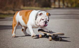 """Rulaõpetajast koer, kassid kohvris ja mopside """"karm"""" elu: need on hetkel sotsmeedia kõige viraalsemad loomavideod"""