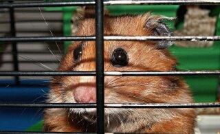 Loomakaitse liit ootab vihjeid: Nõmmelt leiti puuriga metsa alla hüljatud hamstrid