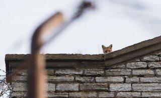 FOTOD | Rebane teeb Patarei vangla katusel kajakavaatlust