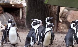Куда катится мир! Пингвины-геи украли яйцо у пингвиних-лесбиянок