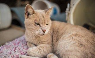 Почему хозяева часто заражают собственных котиков? Что нужно знать эстонским любителям кошек
