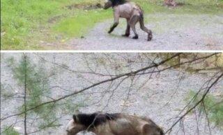 KUMMALINE FOTO | Looduse vingerpuss või inimtegevuse tagajärg? Karu näeb välja nagu müütiline olend