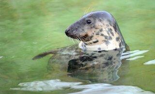 Hülged ja kormoranid ohustavad Läänemere kalamajandust