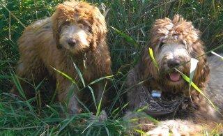 Kas maailma ideaalseim koer on leitud? Labradoodle võidab südameid ja sobib ka allergikutele