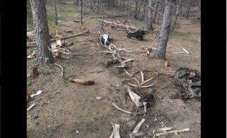 ШОКИРУЮЩИЕ ФОТО И ВИДЕО: В Соодла обнаружены останки забитых животных