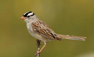 Koroonapandeemia ootamatu mõju: üks linnuliik õppis uuel moel laulma