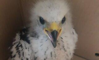 FOTOD | Puu otsast koos pesaga alla sadanud kaitsealune lind tuli hoiukodusse viia