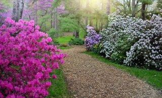 ФОТО | В Латвии началось сказочное цветение рододендронов. Не опоздайте!