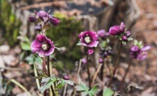 ФОТО | Зима по-эстонски. Среди января распустились весенние цветы