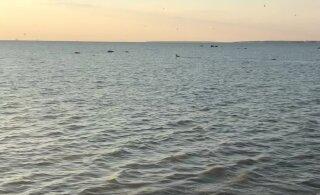 ВИДЕО: В Пирита лось решил поплавать в море