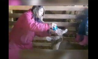 VIDEO   Kaitseväe õppuse Kevadtorm tõttu hülgas ehmunud põder oma vasikad: emata jäänud vasikate eest hoolitsevad vabatahtlikud