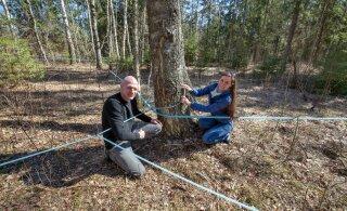Kasemahlatootja: ei ole aega pikalt rääkida, puud ootavad lüpsmist