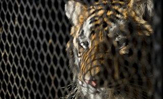Texase tiigrid: ameeriklaste tagaaedades elab üllatavalt palju metsikuid kaslasi