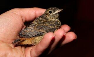 Jaapani turist võttis vaevaks hotelliparklast leitud abivajavast linnust häirekeskusele teada anda