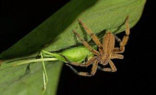 Ämblikud söövad rohkem liha kui kõik inimesed kokku