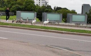ФОТО | Семейство лебедей гуляет по мосту в Ласнамяэ