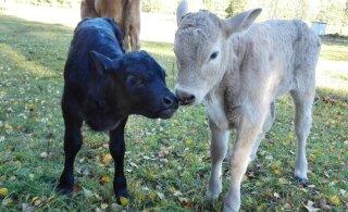 По эстонским фермам гуляет агрессивный вирус
