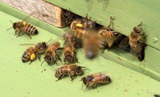 Taimekaitse tõttu ei hukkunud sel aastal teadaolevalt ühtegi mesilasperet