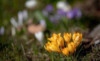 Suur kevad käes: lähipäevad toovad kuni 17 kraadi sooja!