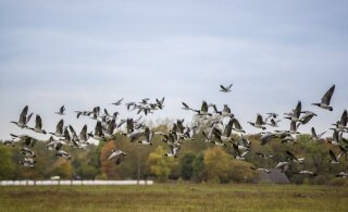 Nii linnud kui ka teised tiivulised on juba võtnud suuna lõunamaale