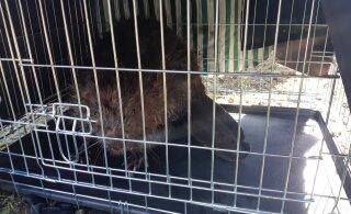 FOTOD | Rännuhimuline kobras lõpetas koduotsingud Kadrioru pargis