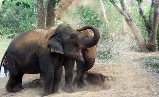 Üks suur oht elevantidele - tee