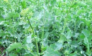 Milliseid taimekaitsetöid tuleks talirapsi kasvatajatel enne sügise saabumist teha?