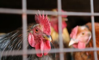 Департамент предупреждает жителей Эстонии: по Центральной Европе распространяется птичий грипп
