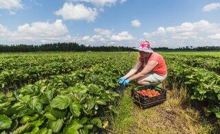 Почему эстонская клубника героически погибла на полях и при чем тут два министра?