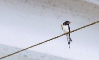 В ласнамяэской девятиэтажке замуровали гнезда ласточек. Там могли находиться птенцы