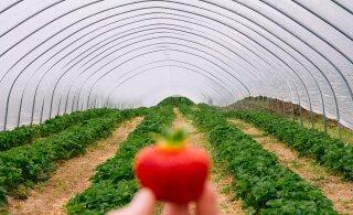 Глава комиссии Рийгикогу: если эстонские аграрии не найдут работников, надо привлекать иностранцев