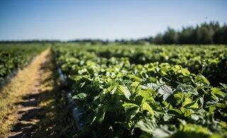 Клубничные фермеры предпочитают брать на работу украинцев вместо эстонских школьников
