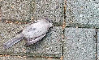 ФОТО | Женщина обеспокоена мертвыми птицами у спа-центра. Руководство: это не массовая проблема