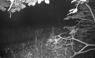Keskkonnaagentuur näeb Sindi paisust päästetud hundi kadumise juures kummalisi aspekte