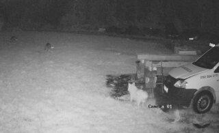 VIDEO | Pühapäeva ööl käisid hundid Raplamaal koduõuel koeri kimbutamas
