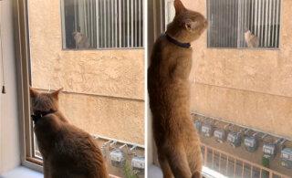 VIDEO | Unistus sai teoks: seni vaid aknalt teineteist igatsenud kassid viidi tutvumisõhtule