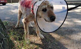 FOTOD JA VIDEO | Autolt löögi saanud ja vakladest puretud koer jäeti hoovi surema