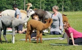 FOTOD | Avatud talude päev Järvamaal: alpakajooga, kängurud ja jaanalinnud on meelitanud tuhandeid külalisi