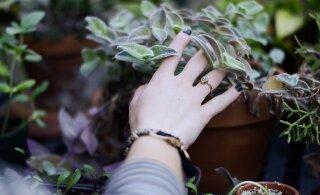 Sügis tungib tuppa: kuidas hoolitseda taimede eest nii, et nad keskkütte sisselülitamise vastu peaksid?