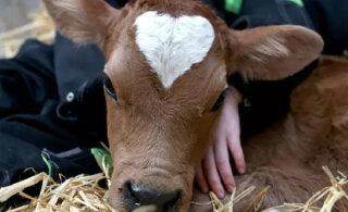 Tõeline Valentinipäeva kingitus: vasikas sündis südamekujulise märgiga otsa ees